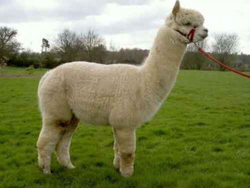 Peruvian researchers develop vaccine to fight acute pneumonia in alpacas