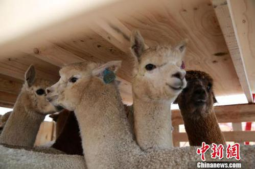 Australian alpaca numbers set to double as Chinese demand grows
