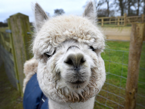 Herd is the word: Meet the alpacas at Clivewood Farm, Shropshire