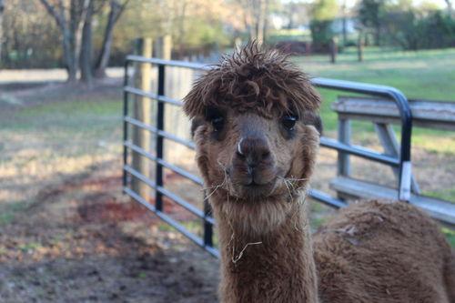 AGJ Alpaca Haven is creating a market for alpaca fleece