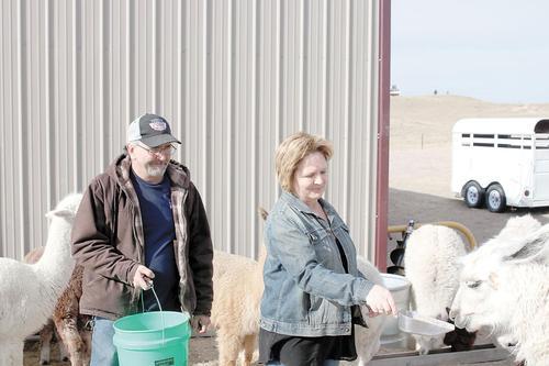Sunday Focus: These alpacas and llamas are like family