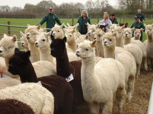 Sold! Did you get a good deal at Norfolk's first alpaca auction?