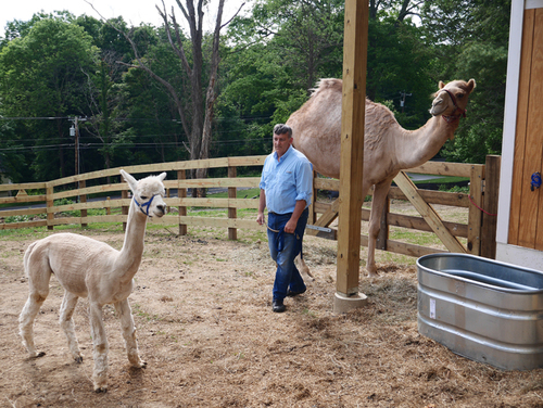 Alpaca joins camel on North Street
