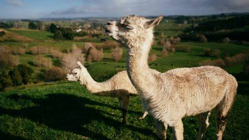 A happy ending for Bambi the blind alpaca
