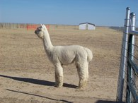 Chiu's Alpaca Ranch - Logo