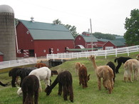 Irish Meadows Alpaca Farm - Logo