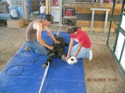 Cody shears on the mats and handles the animals gently.