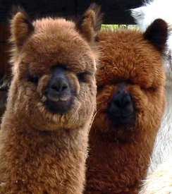 Photo of Alpaca Agistment & Boarding