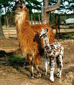 We Are Llama's not Alpacas