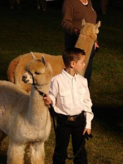 Photo of Alpaca Training
