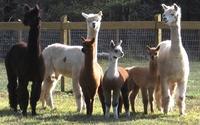 Alpaca Pastures of Virginia, Inc - Logo