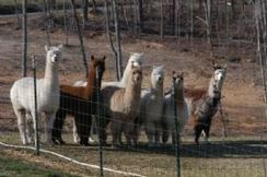 Photo of Alpaca Transportation