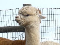 Handsome head, dense topknot