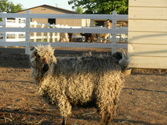 Before Shearing