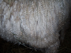 Photo of 100% Suri Fleece- Medium - Grade 4