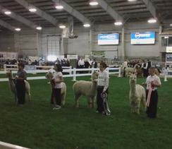 One of our students winning in a Youth Showmanship Class!