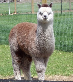 Very rare rose-gray alpaca