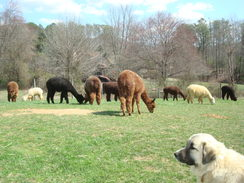 Tippy watching over the herd