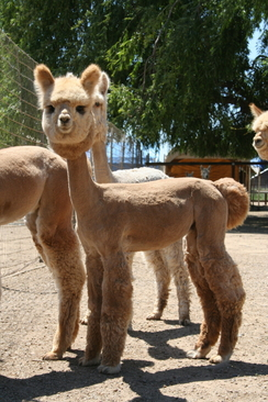 Photo of ALPACA SHEARING SERVICE