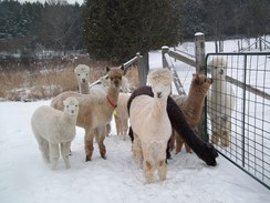 Alpacas enjoy the cool winters in Canada