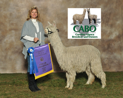 Casper- 1st and color champ white yearling suri males
