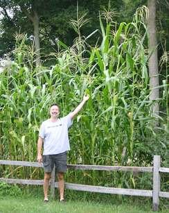 Really tall corn!