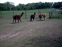 Photo of Alpaca Farm Visits