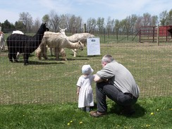 even our youngest of visitors enjoy the alpacas!