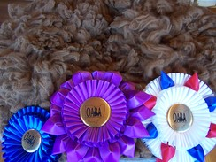 2011-2012 - A beautiful Huacaya fleece, multiple color champion!