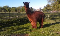 Freedom Ranch Alpacas - Logo