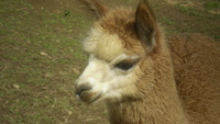 Poosey Ridge Alpaca Farm - Logo