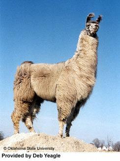 Llama - cousin to the alpaca