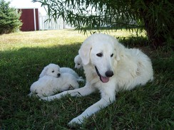 Photo of Maremma Livestock Guardian Dog