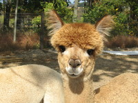 Andes of Mayberry Alpaca Farm - Logo
