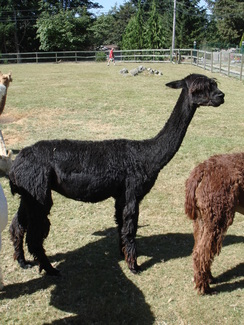 Photo of Alpaca Brokering