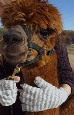 Photo of 100% Alpaca Fingerless Gloves
