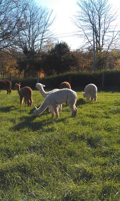 Photo of Make Your Alpaca Farm Dreams Come True!