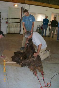 Photo of Shearing in Colorado