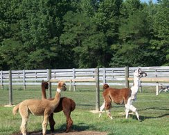 Photo of Guard Llama For Sale $199 (Sale Pending)