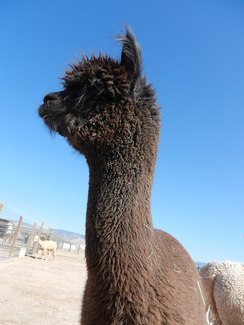 Photo of Build Your Own Alpaca!