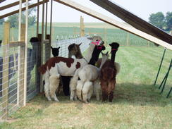 Huacaya Alpacas For Sale