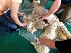 Annual shearing of prized alpaca fiber.