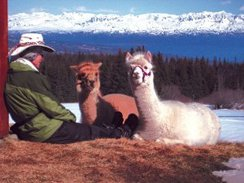 Photo of Alpaca Relaxation Book