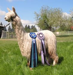 A decorated suri alpaca