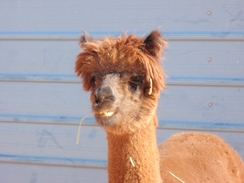Photo of Adopt-A-Paca – Prissy
