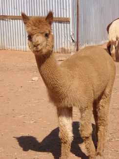 Photo of Adopt-A-Paca – Dot