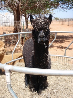 Photo of Adopt-A-Paca – Champ