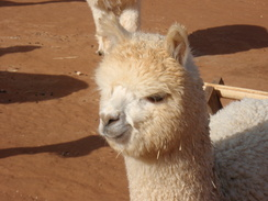 Photo of Adopt-A-Paca – Patton