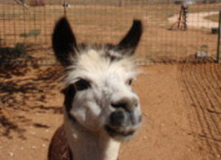 Photo of Adopt-A-Paca – Chamberino