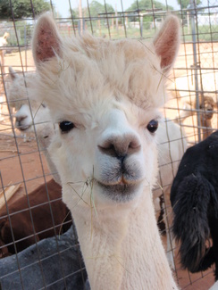 Photo of Adopt-A-Paca – Chandra